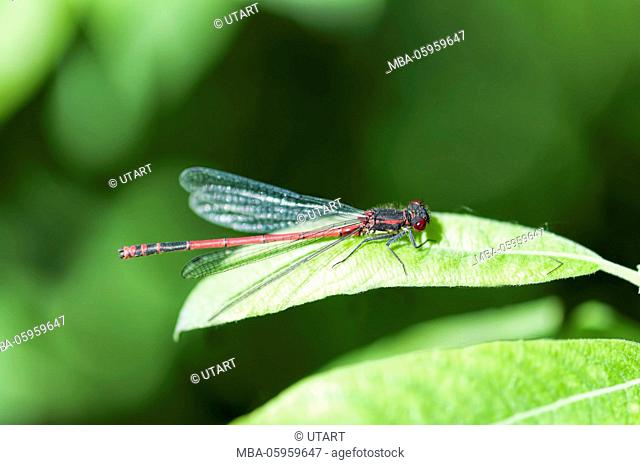 Red dragonfly on leaf, close-up