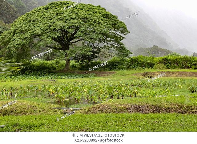 A taro field during a rainstorm in the Waipi'o Valley on the Big Island of Hawaii