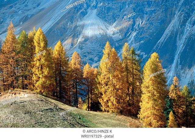 European, Larchs, in, autumn, Val, Vex, Engadin, Graubunden, Switzerland,Larix, decidua