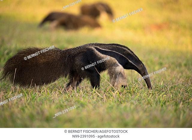 Giant anteater (Myrmecophaga tridactyla), meeting of three solitary animals in grassland, Mato Grosso do Sul, Brazil