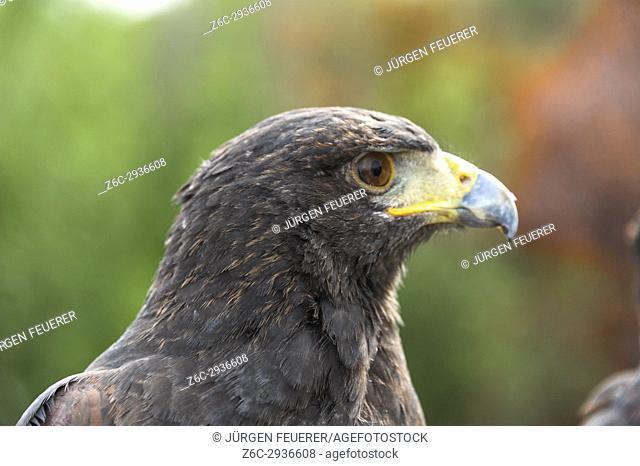 Buteo bird, buzzard bird, side view, captive bird, taken in Zahara, Andalusia, Spain