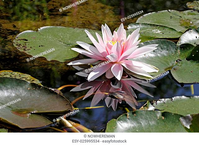 Water-Lily, Nymphaea Hybrid, Aquatic plant in June, Germany, Europe