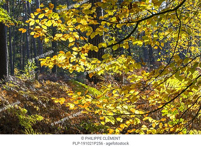 Close up of European beech / common beech (Fagus sylvatica) foliage showing leaves in yellow autumn colours in forest in the fall