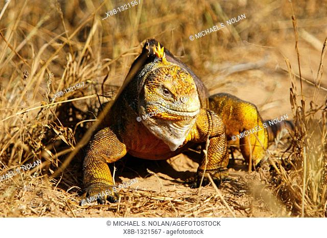 The very colorful Galapagos land iguana Conolophus subcristatus in the Galapagos Island Archipelago, Ecuador  This large land iguana is endemic to the Galapagos...