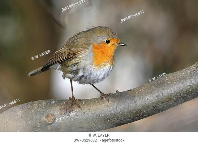 European robin (Erithacus rubecula), sitting on a branch, Germany