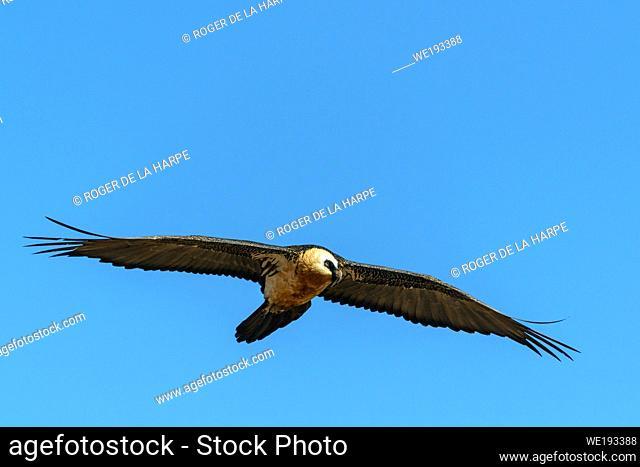 Bearded vulture or lammergeier or ossifrage (Gypaetus barbatus) in flight. Giant's Castle Game Reserve. Ukhlahlamba Drakensberg Park. KwaZulu Natal