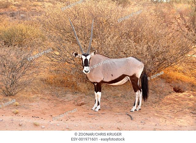 Gemsbok Antelope Oryx gazella