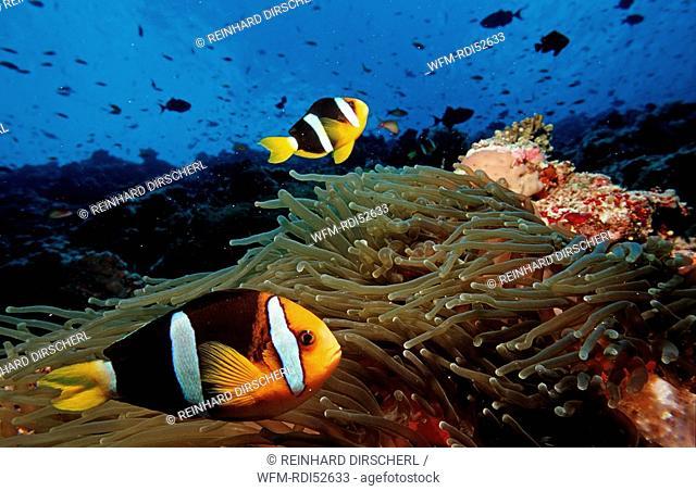 Clark's anemonefish, Amphiprion clarkii, Indian ocean Ari Atol Atoll, Maldives Islands