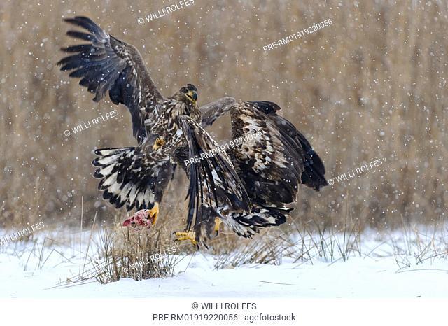 White-tailed Eagle Haliaeetus albicilla, Feldberger Seenlandschaft, Mecklenburg-Vorpommern, Germany / Seeadler im Winter Haliaeetus albicilla