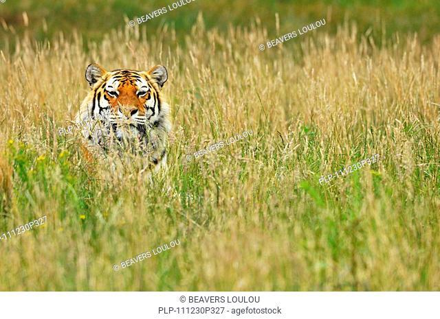 Siberian tiger / Amur tiger Panthera tigris altaica, native to Russia and China