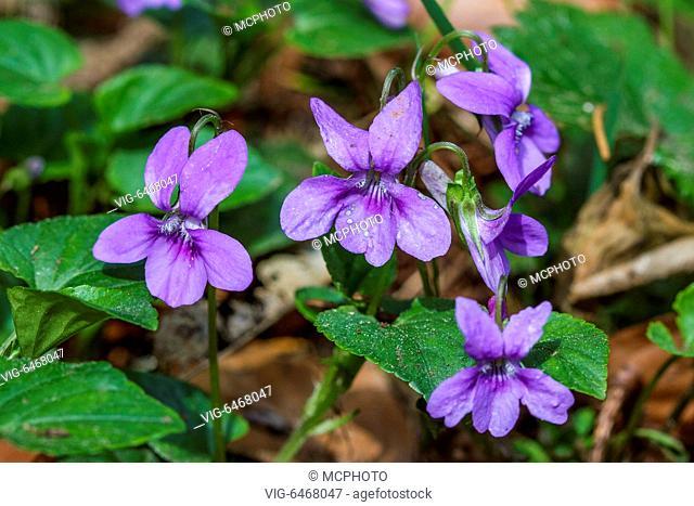 Wald-Veilchen (Viola reichenbachiana) - Germany, 21/04/2014