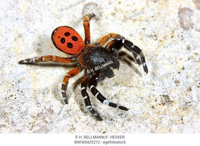 Ladybird spider (Eresus niger, Eresus cinnaberinus, Eresus kollari), male, Germany