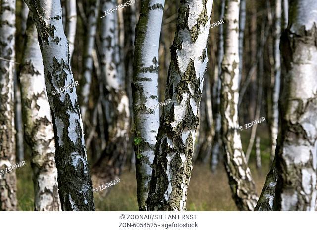 Birch forest / Betula
