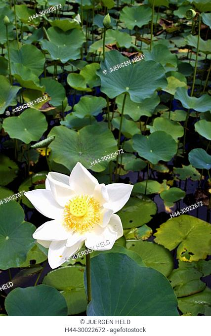 Nymphea Lotus flower tank in Sir Seewoosagur Ramgoolam Royal Botanical Garden of Pamplemousses , Mauritius, Africa