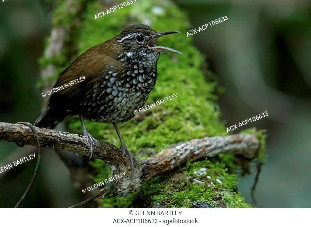Sharp-tailed Streamcreeper (Lochmias nematura) perched on a branch in the Atlantic Rainforest Region of Brazil