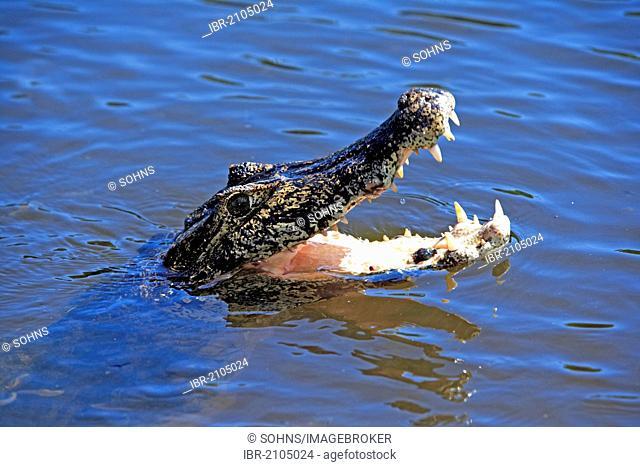 Yacaré Caiman or Piranha Caiman (Caiman yacare), adult, in water, threatening, Pantanal, Brazil, South America