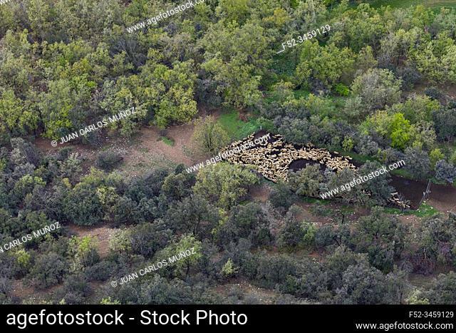 Flock of sheep, Montsec Range, The Pre-Pyrenees, Lleida, Catalonia, Spain, Europe