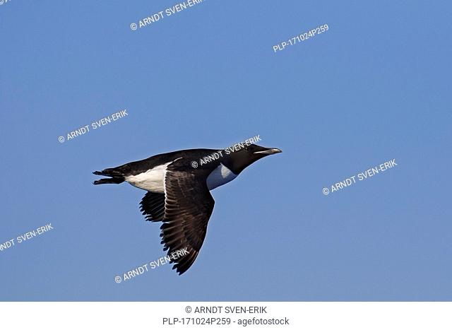 Thick-billed murre / Brünnich's guillemot (Uria lomvia) in flight against blue sky, native to the sub-polar regions of the Northern Hemisphere
