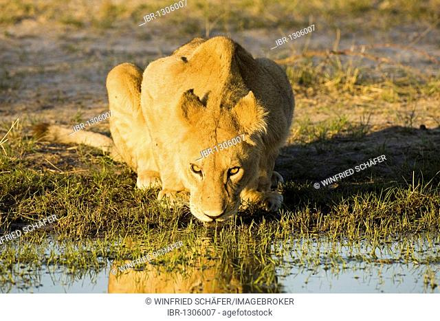 Lioness (Panthera leo) drinking at the last evening light at a waterhole, Moremi National Park, Moremi Wildlife Reserve, Okavango Delta, Botswana, Africa
