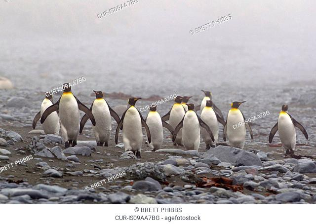 King penguins, on a misty wind swept beach, along the north east coast of Macquarie Island, Southern Ocean