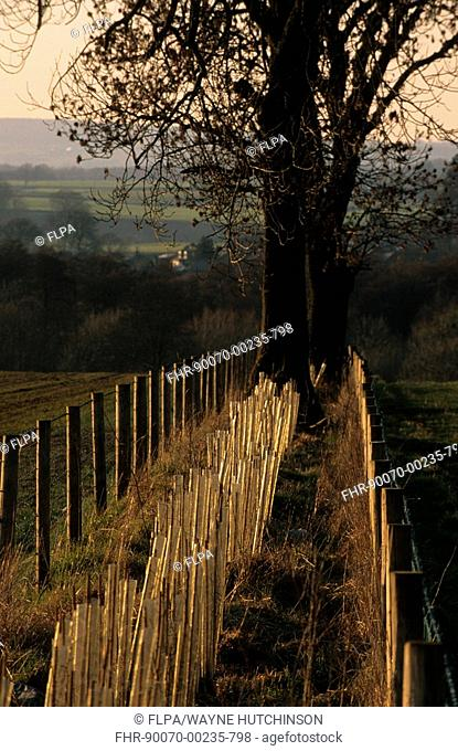 Hedge planting, backlit new planted hedge with rabbit guards, Cumbria, England, march