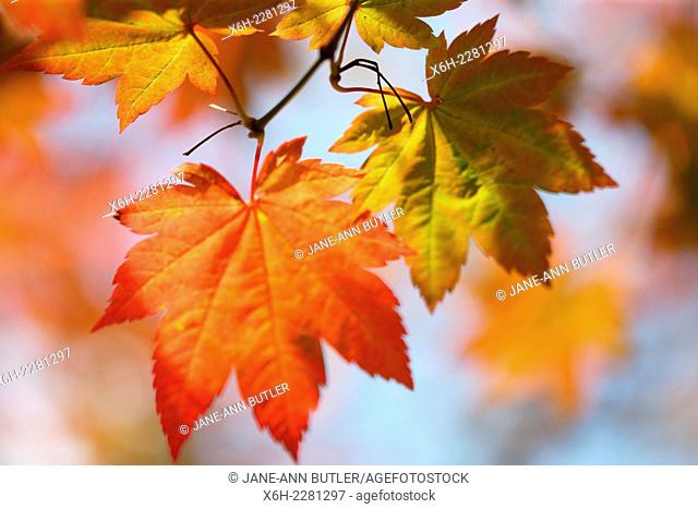 brilliant Autumn colour of the changing maple leaf