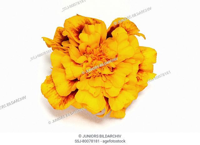 DEU, 2010: Tagetes, Marigold (Tagetes hybrid), flower head. Studio picture against a white background