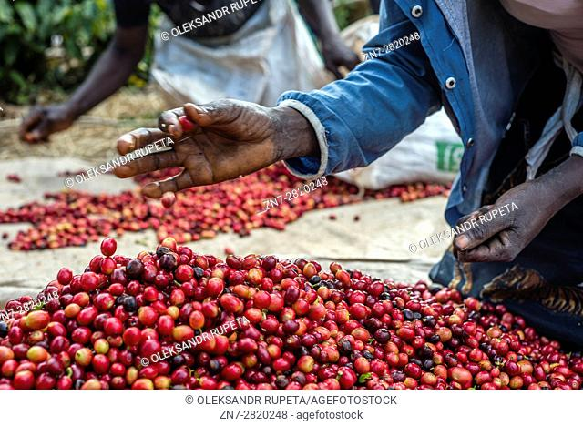 Pickers remove unripe or overripe coffee beans and foreign debris from their daily harvest to prepare it for weighing at the Mubuyu Farm, Zambia