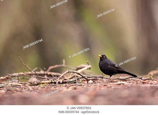 One male Blackbird (Turdus merula) perched on the ground in between branches, the Netherlands, gelderland, park Zypendaal