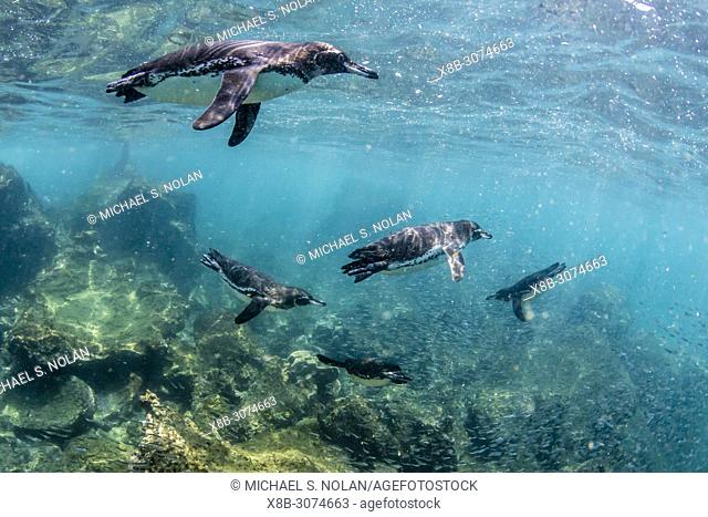 Galápagos penguins, Spheniscus mendiculus, swimming underwater at Bartolomé Island, Galápagos, Ecuador