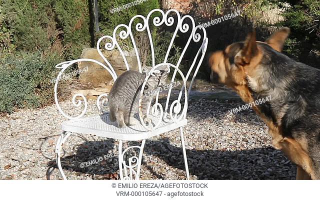 German shepherd dog and cat