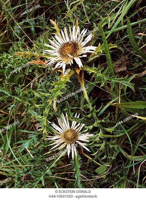 Carline thistle, Carlina acaulis, Flowers, Flower, Meadow, Blossom, Blooming, Yellow