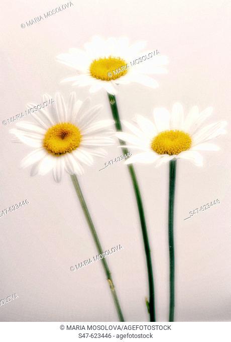Three Daisies. Leucanthemum x superbum. August 2006, Maryland, USA