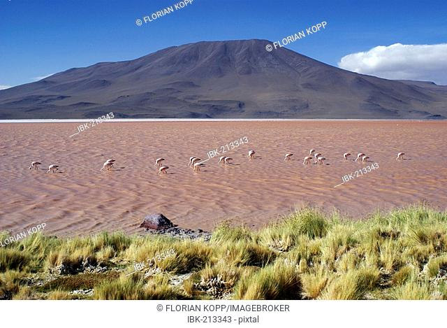 Laguna Colorada with Andean Flamingos (Phoenicopterus andinus), Uyuni Highlands, Bolivia
