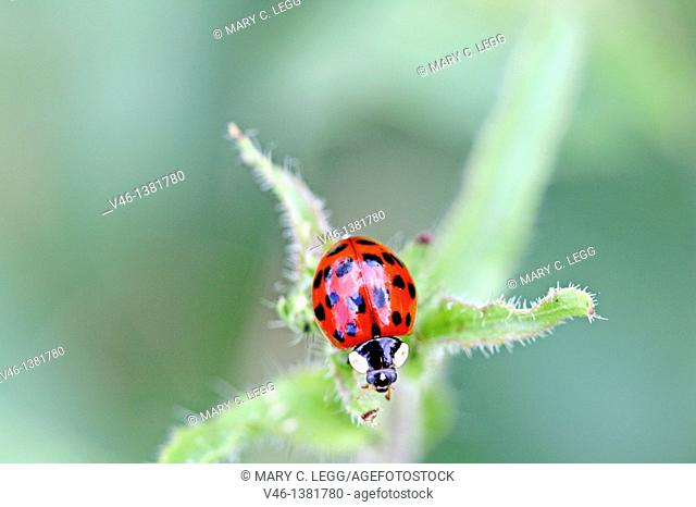 Asian ladybird, Harmonia axyridis hunting  An Asian Ladybird is intent on catching prey invisible to human eye  The ladybird is perched at the top of the plant...
