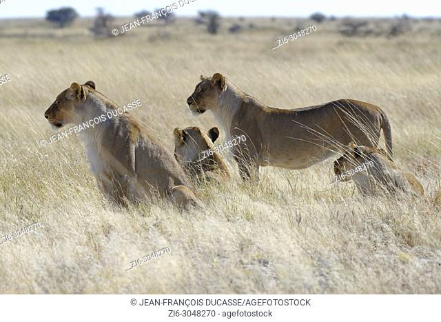 Lionesses (Panthera leo) in the dry grass, looking round, alert, Etosha National Park, Namibia, Africa