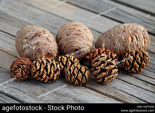 Cedrus atlantica, Atlas Zeder, atlas cedar, Sequoiadendron giganteum, Mammutbaum, Redwood, Zapfen, cones