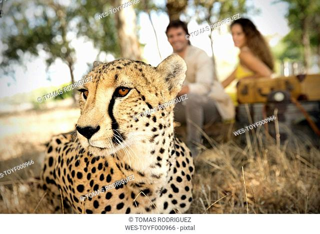 South Africa, portrait of a cheetah in front of two people