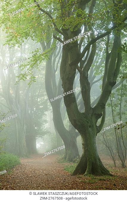 Misty autumn morning in Stanmer Wood, South Downs National Park near Brighton, East Sussex, England