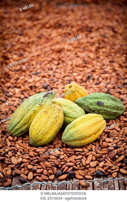 Cocoa fruits, Subre, Ivory coast