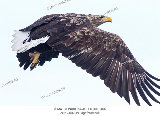 A close up photo on a White-tailed eagle, Haliaeetus albicilla, flying