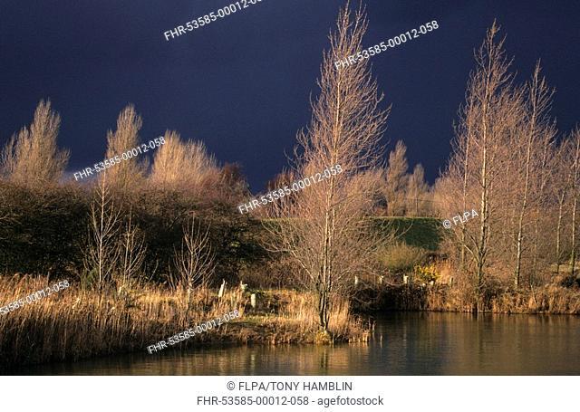White Poplar Populus alba group of bare trees beside water in winter, Snettisham, Norfolk, England