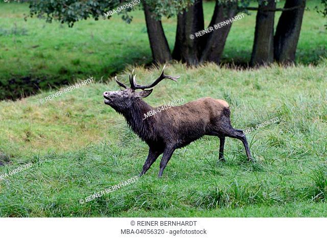 Red deer, red deer, rut