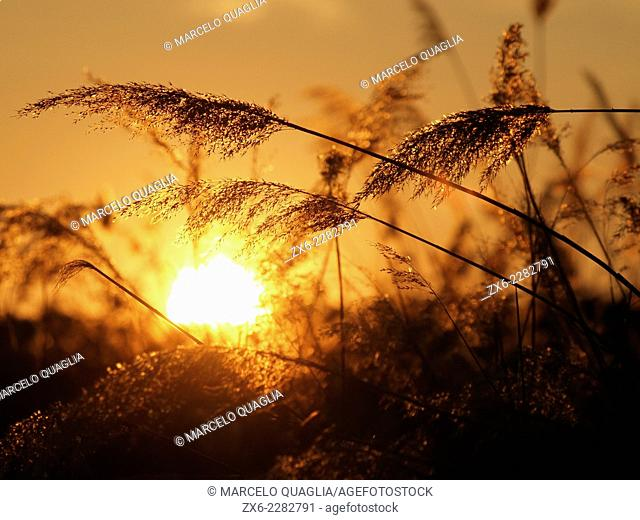 Sunset and sprigs at Ivars Lake, Pla d'Urgell region, Lleida province, Catalonia, Spain