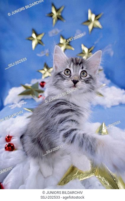 Norwegian Forest Cat. Kitten in Christmas decoration with stars. Germany