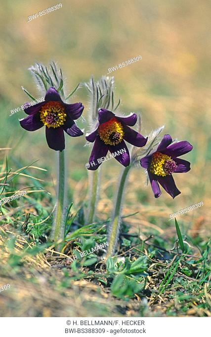Mountain pasque flower, Mountain pasqueflower (Pulsatilla montana, Anemone montana), blooming, Switzerland
