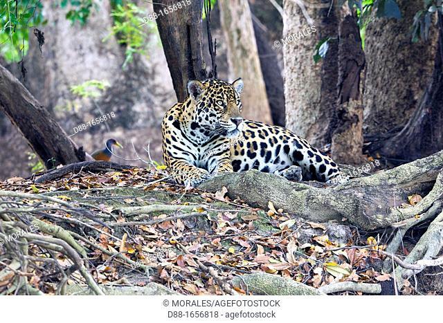 Jaguar (Panthera onca), Pantanal area, Mato Grosso, Brazil