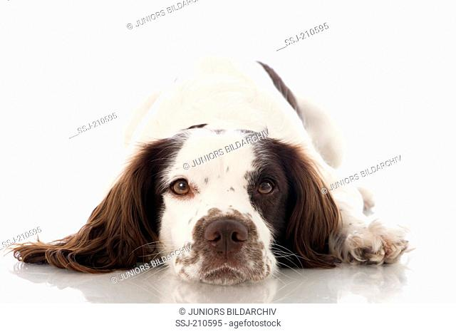 English Springer Spaniel. Adult dog lying, seen head-on. Studio picture against a white background. Germany