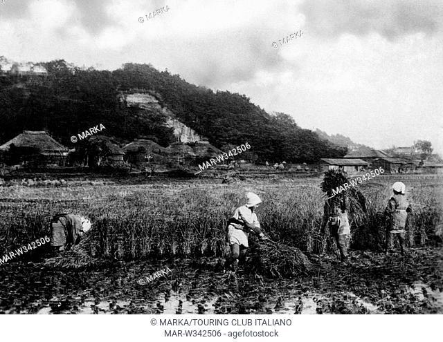 asia, cina, raccolta del riso, 1930-40 // rice harvest, china, asia, 1930-40