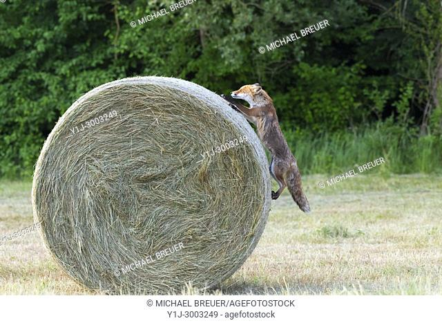 Red fox (Vulpes vulpes) climbing on hay bale, Summer, Hesse, Germany, Europe